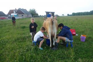 Group milking Bhumi in the field.