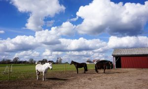 The horses in the barn area.