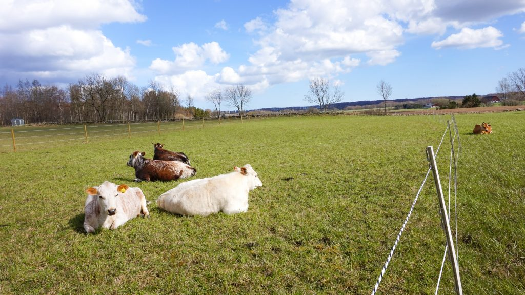 Cows and oxen resting in the sun.